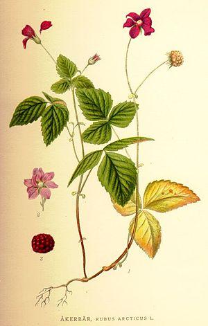 """Rubus arcticus - From """"Bilder ur Nordens Flora"""" (1917–1926)"""