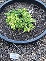 Rubus guestphalicoides - Botanischer Garten, Frankfurt am Main - DSC02476.JPG