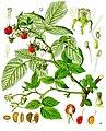 Rubus idaeus - Köhler–s Medizinal-Pflanzen-124.jpg