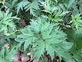 Rubus laciniatus 15.JPG