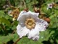 Rubus odoratus 2017-05-23 0535.jpg