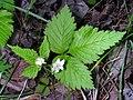 Rubus pubescens 2 (5097949170).jpg