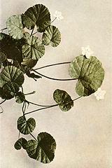 Rubus repens WFNY-097B.jpg