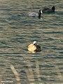 Ruddy Shelduck (Tadorna ferruginea) (32803298070).jpg