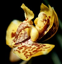 Rudolfiella aurantiaca - flower 3.jpg