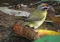 Rufous-capped warbler (40045556994).jpg