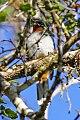 Rufous-throated Solitaire (Myadestes genibarbis) (8082796161).jpg