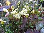 Ruhland, Grenzstr. 3, gelbe Elfenblume im Garten, blühend, Frühling, 05.jpg