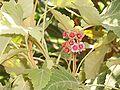 Ruizia cordata.jpg