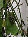 Rupsen van Zebravlinder Heliconius charithonia.jpg