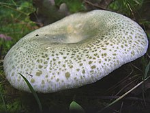 Mushroom cap with small green patches on a light green surface. The cap becomes greener towards the center as the concentrations of patches increases; the center of the cap surface is depressed.