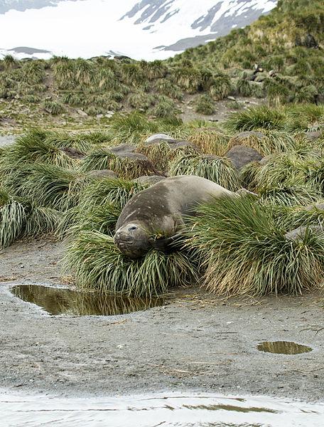 File:SGI-2016-South Georgia (Salisbury Plain)–Southern elephant seal (Mirounga leonina) 02.jpg