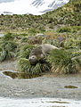 SGI-2016-South Georgia (Salisbury Plain)–Southern elephant seal (Mirounga leonina) 02.jpg