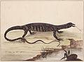 SLNSW 797146 f 06 Variegated lizard.jpg
