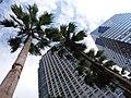 SZ 深圳 Shenzhen 羅湖 Luohu 深南東路 Shennan East Road August 2018 SSG MixC mall tree China Resources 老人葵 Washingtonia filifera 02.jpg