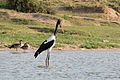 Saddle-billed stork - Queen Elizabeth National Park, Uganda (2).jpg