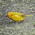 Saffron finch (37269317954).jpg