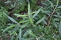 Salix gmelinii 44139182.jpg