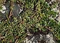 Salix serpyllifolia kz01.jpg
