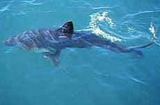 Salmon shark noaa.jpg