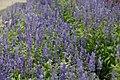 Salvia farinacea Victoria Blue 10zz.jpg