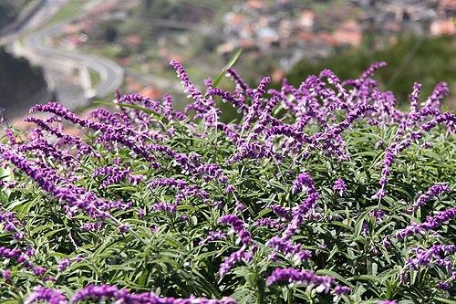 500px salvia leucantha (mexican bush sage) w %26 g madeira 002 (33278392846)
