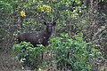 Sambar-deer-in-forest.jpg