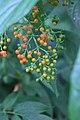 Sambucus chinensis in Wuyishan Chengcun 2012.08.24 08-31-16.jpg