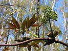 Sambucus racemosa20120428 025.jpg