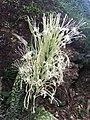 Sanseveria en fleurs.jpg