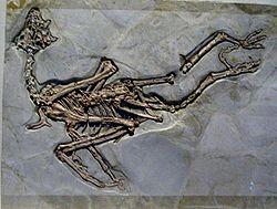 Sapeornis chaoyangensis.JPG