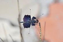 Sapphire flutterer 5826.jpg