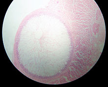 """Sarcocystis"" cyst in a sheep oesophagus. The cyst is approximately 4 mm across."