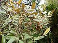 Sarcolaena oblongifolia 1.JPG