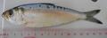 Sardinella tawilis.png