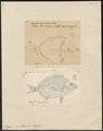 Sargus annularis - 1700-1880 - Print - Iconographia Zoologica - Special Collections University of Amsterdam - UBA01 IZ13100037.tif