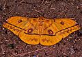 Saturnid Moth (Nudaurelia dione) (7693491546).jpg