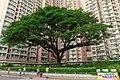 Sau Mau Ping Estate Big tree 201508.jpg