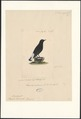 Saxicola leucura - 1840 - Print - Iconographia Zoologica - Special Collections University of Amsterdam - UBA01 IZA1000564.tif