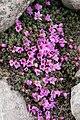 Saxifraga oppositifolia (46211128694).jpg