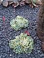 Saxifragales - Echeveria sp. - 13.jpg