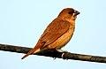 Scaly-breasted Munia Lonchura punctulata Juvenile by Dr. Raju Kasambe DSCN0753 (2).jpg