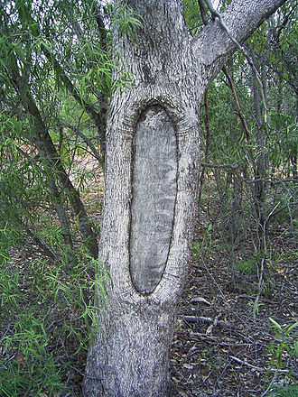 Aboriginal sites of Victoria - Scar tree from removal of bark for a shield, near Wahgunyah