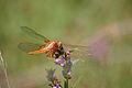 Scarlet Skimmer, female (9656608910).jpg