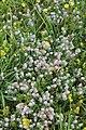 Schiermonnikoog - Hazenpootje (Trifolium arvense).jpg