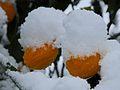 Schnee Orange, Citrus × aurantium 6.JPG