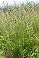 Schoenus nigricans kz03.jpg