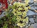 Scleranthus perennis inflorescence (16).jpg