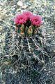 Sclerocactus parviflorus ssp macrospermus fh 69 02 UT B.jpg