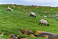 Scottish Blackfaced Sheep St Mary Cape Newfoundland (40650811844).jpg